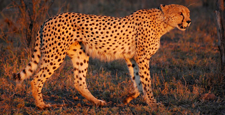 cheetah1 Cheetahs in the dark and other night running perils